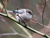 Bushtit Perched on a Branch Stock Image