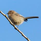 Bushtit Small Bird Royalty Free Stock Photos