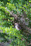 Bushtit, Psaltriparus minimus Royalty Free Stock Images