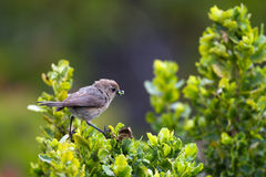 Bushtit, Psaltriparus minimus Royalty Free Stock Photo