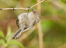 Bushtit - Psaltriparus minimus Stock Photos