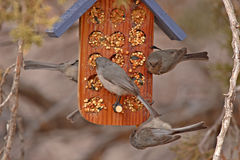 Bushtits On Feeder. A flock of Bushtits on a bird feeder in northern New Mexico Royalty Free Stock Image
