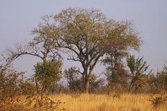 bushveld设置结构树 库存图片