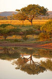 Bushveld Dawn Στοκ εικόνες με δικαίωμα ελεύθερης χρήσης