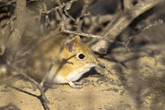 Bushveld elephant Shrew in vegetation Royalty Free Stock Image
