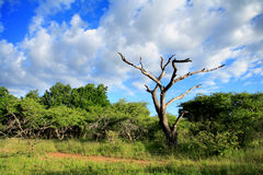 Bushveld Landscape. A dried out tree captures the eye as it stands out between the trees with clear blue sky and white puffy clouds contributing to the photo Stock Image