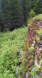 Limestone cliff with summer flowers in Glacier National Park royalty free stock photography