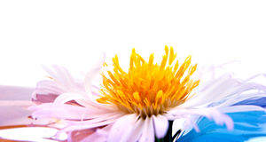 Bushy aster Royalty Free Stock Photography
