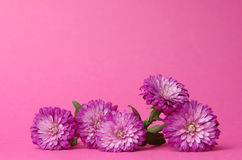 Bushy asters. Pink bushy asters for a pink background Royalty Free Stock Images