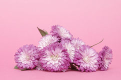 Bushy asters Royalty Free Stock Photography