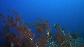 Bushy black coral Antipathes dichotoma with Yellowbar angelfish Pomacanthus maculosus in coral of Red sea Sudan. Shaab Rumi stock video footage