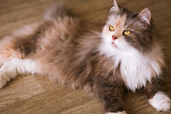 Bushy cat laying on wooden floor Stock Photo