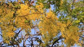 bushy Chuveiro dourado com folhas verdes imagens de stock royalty free