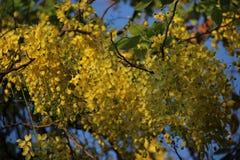 bushy Chuveiro dourado fotos de stock royalty free