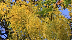 bushy Flor dourada do chuveiro fotografia de stock