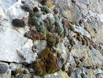 Bushy Moss on Rock Wall Royalty Free Stock Image