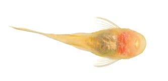 Bushy nose - Goldspot Ancistrus Albino Stock Photo