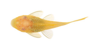 Bushy nose - Goldspot Ancistrus Albino Stock Photos