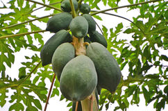 Bushy papaya fruits on the tree Royalty Free Stock Photos