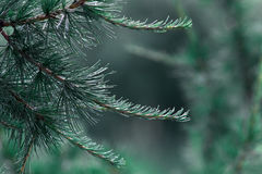 Bushy pine branches Stock Images