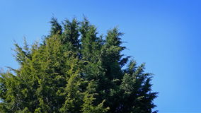 Bushy Pine Tree In Breeze. Large bushy evergreen tree sways in the wind stock video