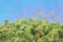 Bushy Pine Trees on Blue Background Stock Photos