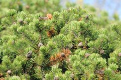 Bushy Pine Trees with Cones in Forest Stock Images