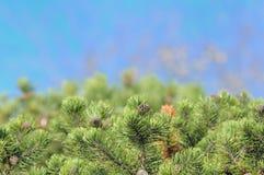 Bushy Pine Trees On Blue Background Stock Photos