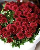 Bushy Red Chrysanthemum. Bush of Beautiful Red Chrysanthemum in White Flower Pot closeup. Focus on Foreground Stock Photos