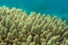 BUSHY STAGHORN CORAL Stock Images