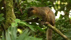 Bushy-tailed Olingo - Bassaricyon gabbii also known as the Northern olingo, is a tree-dwelling member of the family Procyonidae, w. Hich also includes raccoons stock video footage