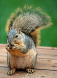 Bushy Tailed Tree Squirrel. Bushy Tailed Squirrel eating a nut Royalty Free Stock Photography
