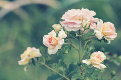 A bushy tender rose on a tinted background in the garden. Selective soft focus. Royalty Free Stock Photos
