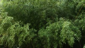 Thickets of bamboo in the park. Bushy thickets of bamboo in a wild nature park stock footage