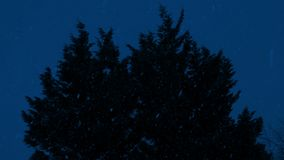 Bushy Tree Sways In Snowfall At Night. Bushy trees moving in strong wind and snowfall in the dark stock footage