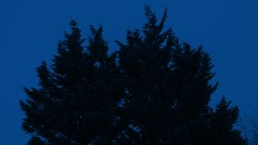 Bushy Trees Sway In The Wind At Night. Large bushy trees on stormy night stock video footage