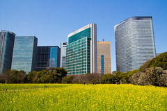 The business district of Shiodome, Tokyo, Japan with rapeseed field Royalty Free Stock Photo