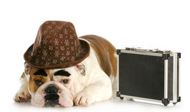 Business dog. English bulldog dressed up like a business man with dark eyebrows and mustache on white background Stock Image