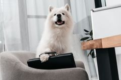 Business dog with briefcase. Cute fluffy samoyed dog sitting with briefcase in office stock photos