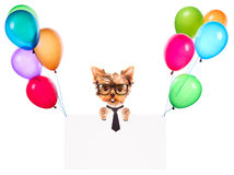 Business dog holding banner with balloons Royalty Free Stock Photo