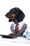 Business dog. Portrait of a business dachshund wearing a suit and tie, isolated over white Royalty Free Stock Photo