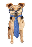 Business Dog wearing glasses tie isolated Royalty Free Stock Photography