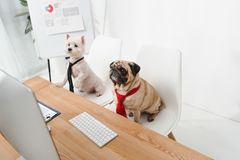 Free Business Dogs In Neckties Royalty Free Stock Photo - 105380105