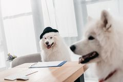Business dogs in office. Selective focus of two business dogs working together in office Royalty Free Stock Photo