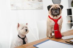 Business dogs. Two business dogs in neckties working together in office Stock Photography