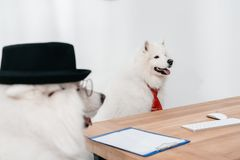 Business dogs at workplace. Two business dogs having conversation at workplace Stock Photos