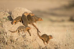 Business of Dwarf Mongooses, Serengeti, Tanzania Stock Photography