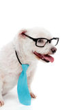 Business educated dog. A cute white maltese terrier, wearing a blue tie and reading glasses with white space for copy stock photo