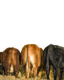 Business End of Three Cows Stock Photography