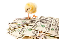 Business first steps. Newborn small chicken and dollars on white background Stock Photography